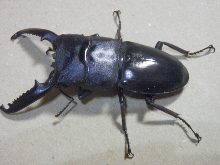 パラワンオオヒラタ